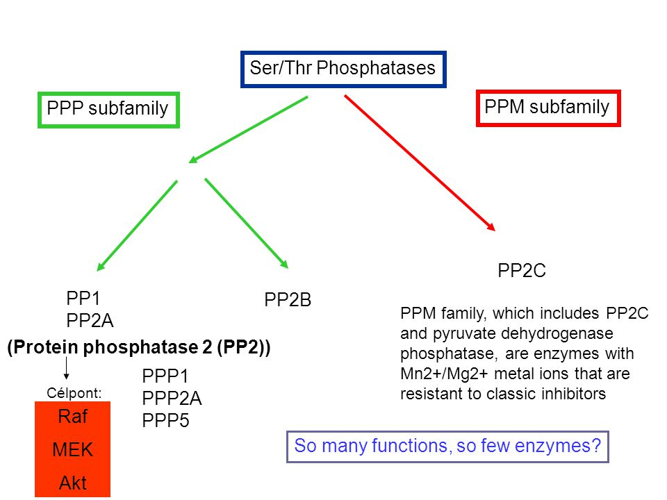 Ser/Thr Phosphatases PPM subfamily PPP subfamily PP1 PP2A PP2B PP2C PPP1 PPP2A PPP5 So many functions, so few enzymes.