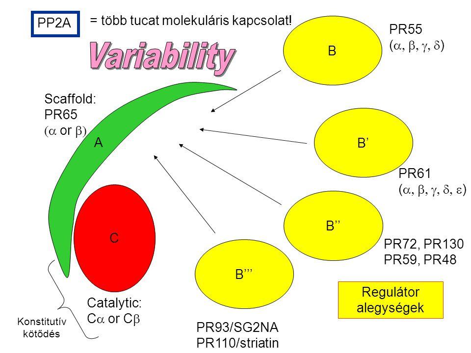 B Catalytic: C  or C  PR55 (  ) PR61 (  ) PR72, PR130 PR59, PR48 PR93/SG2NA PR110/striatin PP2A = több tucat molekuláris kapcsolat.