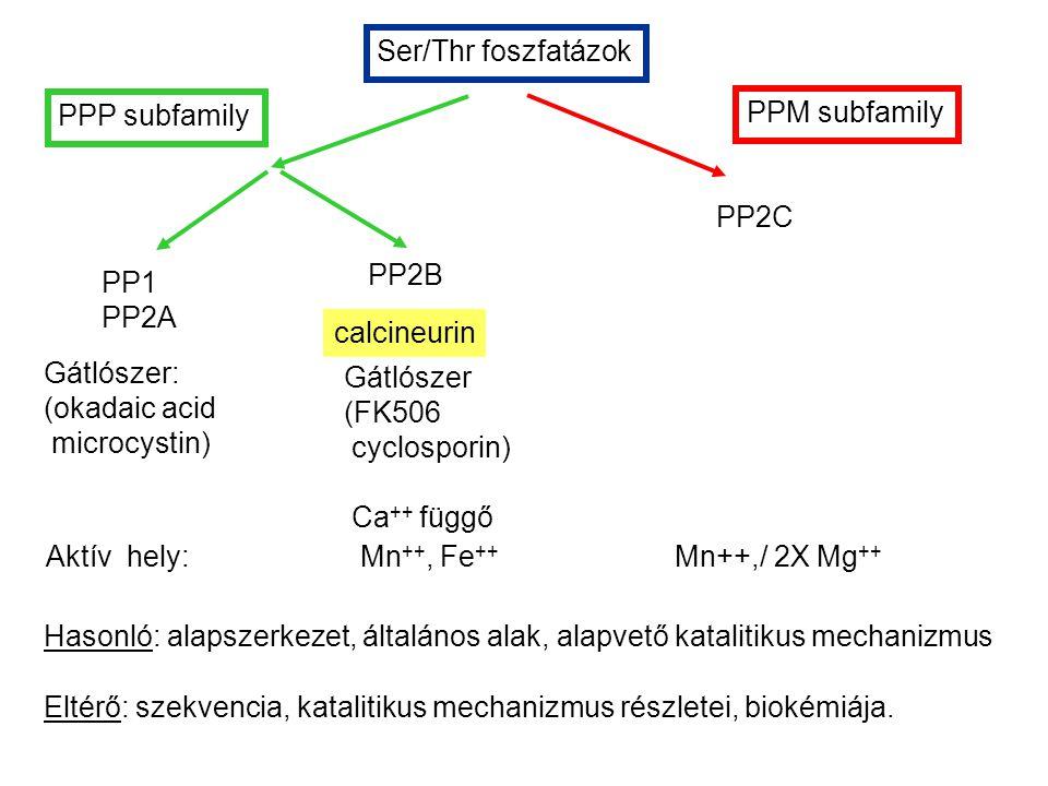 Ser/Thr foszfatázok PPM subfamily PPP subfamily PP1 PP2A PP2B PP2C Gátlószer: (okadaic acid microcystin) Gátlószer (FK506 cyclosporin) Ca ++ függő Aktív hely: Mn ++, Fe ++ Mn++,/ 2X Mg ++ Hasonló: alapszerkezet, általános alak, alapvető katalitikus mechanizmus Eltérő: szekvencia, katalitikus mechanizmus részletei, biokémiája.