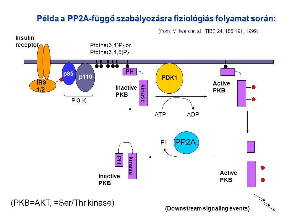 Példa a PP2A-függő szabályozásra fiziológiás folyamat során: Insulin receptor IRS 1/2 PI3-K p85 p110 PtdIns(3,4)P 2 or PtdIns(3,4,5)P 3 PH kinase Inactive PKB ATPADP PDK1 Inactive PKB kinase PH Active PKB Pi PP2A (PKB=AKT, =Ser/Thr kinase) Active PKB (Downstream signaling events) (from: Millward et al., TIBS 24, 186-191, 1999)