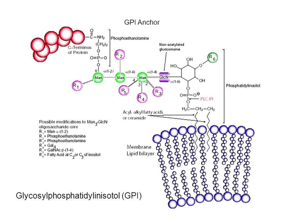 Glycosylphosphatidylinisotol (GPI)