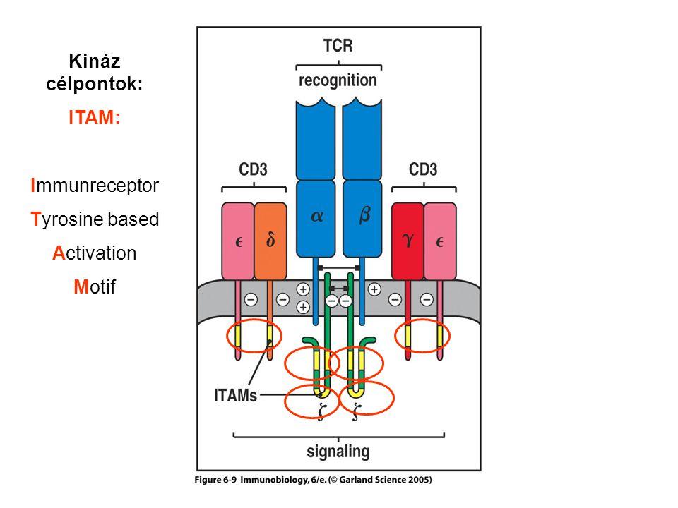 Kináz célpontok: ITAM: Immunreceptor Tyrosine based Activation Motif