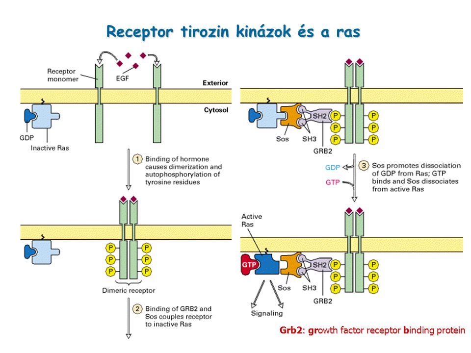 Receptor tirozin kinázok és a ras Grb2: growth factor receptor binding protein