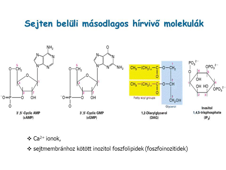 Sejten belüli másodlagos hírvivő molekulák  Ca 2+ ionok,  sejtmembránhoz kötött inozitol foszfolipidek (foszfoinozitidek)