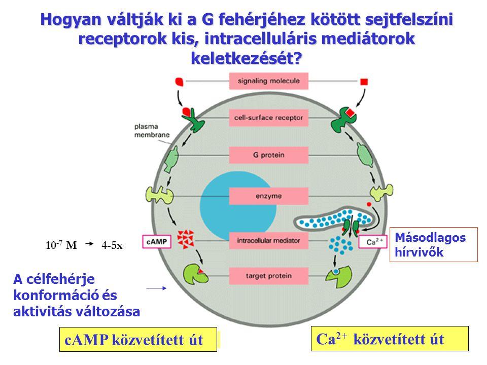 Hogyan váltják ki a G fehérjéhez kötött sejtfelszíni receptorok kis, intracelluláris mediátorok keletkezését? A célfehérje konformáció és aktivitás vá