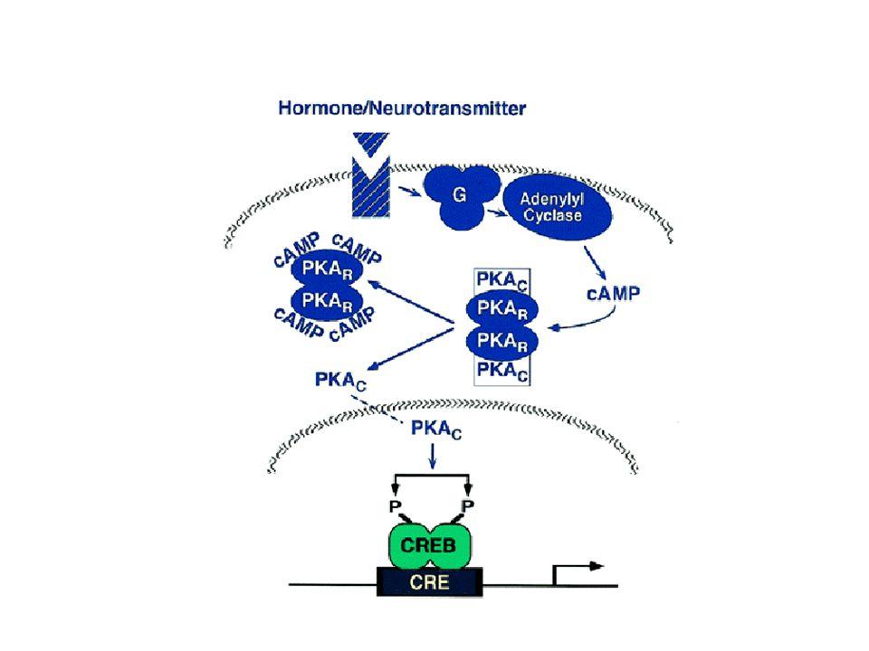 A glikogén lebomlás cAMP - PKA által közvetített módja vázizom sejtekben I Adrenalin Ser/Thr foszfatáz I, IIA, IIB PKA közvetített foszfatáz gátlás Foszfatázok: foszforiláció gátlás Foszforiláz kináz
