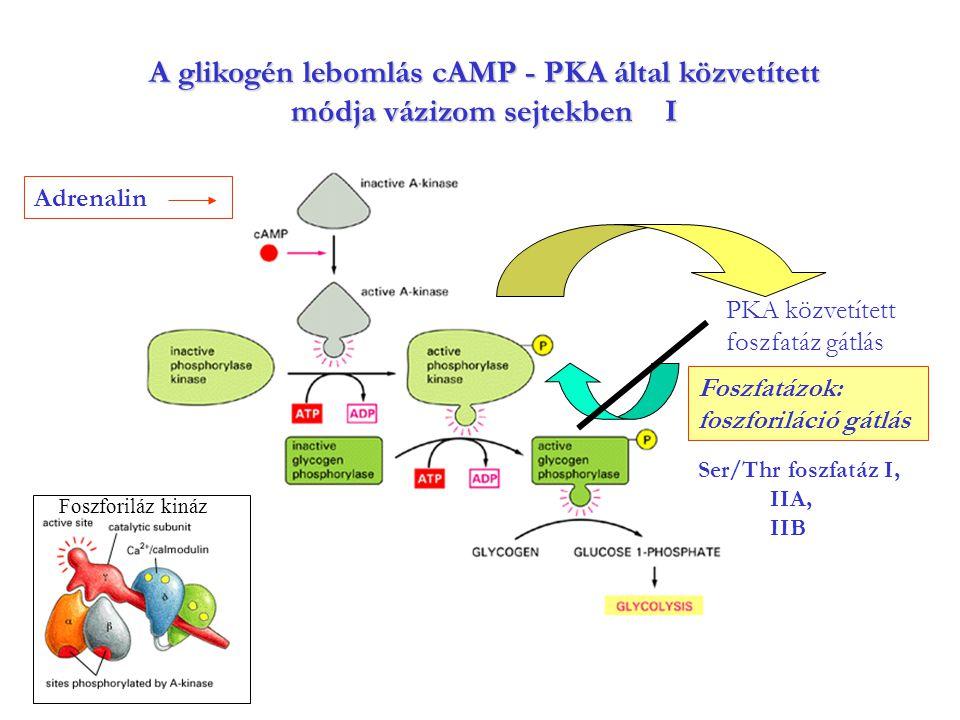 A glikogén lebomlás cAMP - PKA által közvetített módja vázizom sejtekben I Adrenalin Ser/Thr foszfatáz I, IIA, IIB PKA közvetített foszfatáz gátlás Fo