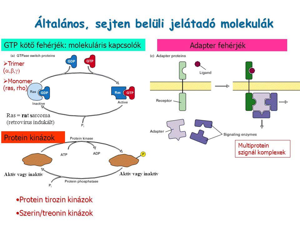 Általános, sejten belüli jelátadó molekulák Adapter fehérjék GTP kötő fehérjék: molekuláris kapcsolók Protein kinázok  Trimer (   Monomer (ras