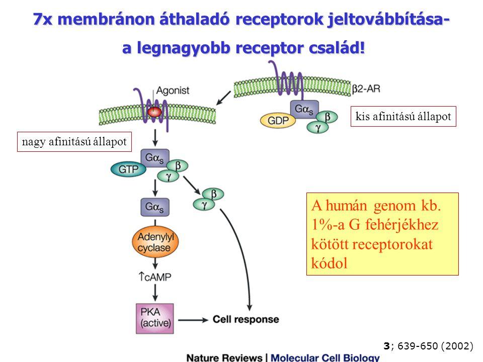 3; 639-650 (2002) 7x membránon áthaladó receptorok jeltovábbítása- a legnagyobb receptor család! a legnagyobb receptor család! A humán genom kb. 1%-a