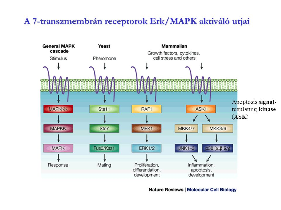 A 7-transzmembrán receptorok Erk/MAPK aktiváló utjai Apoptosis signal- regulating kinase (ASK)