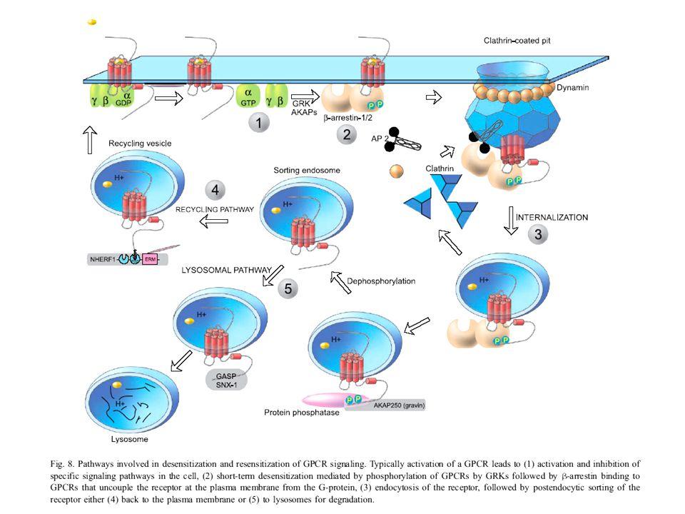 A beta-arrestin egy adaptor/scaffolding (állvány) fehérje a MAPK kaszkád fehérjéi számára – az aktív MAPK-t a citoplazmában tartja