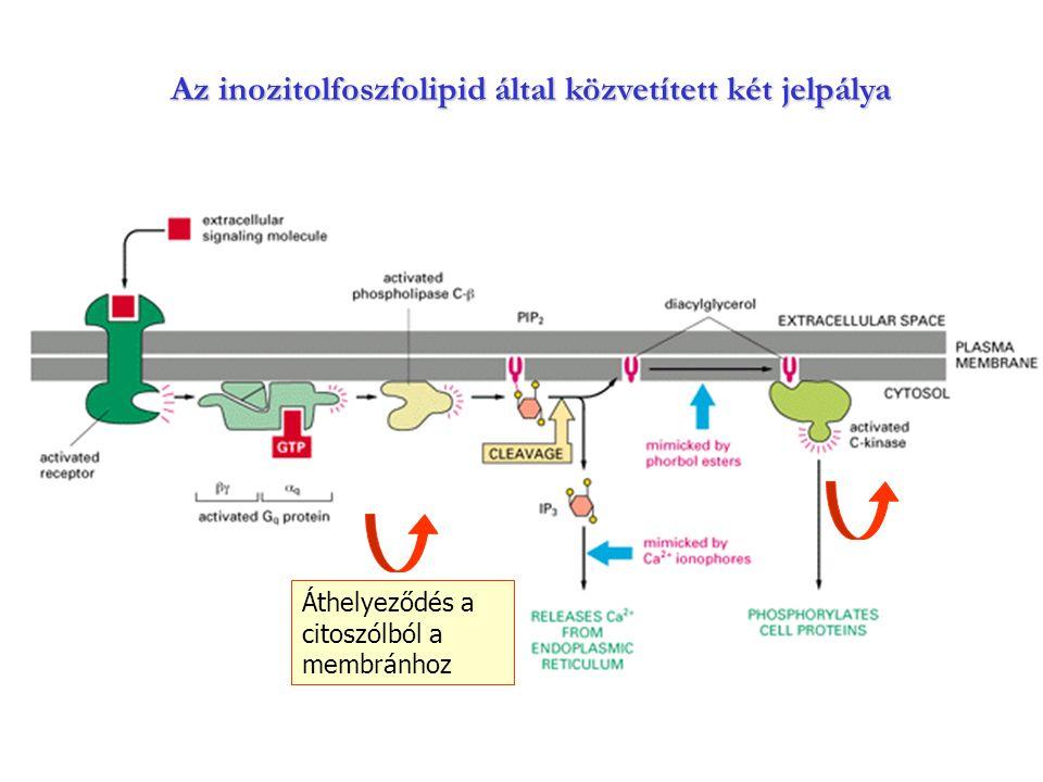 Az inozitolfoszfolipid által közvetített két jelpálya Áthelyeződés a citoszólból a membránhoz
