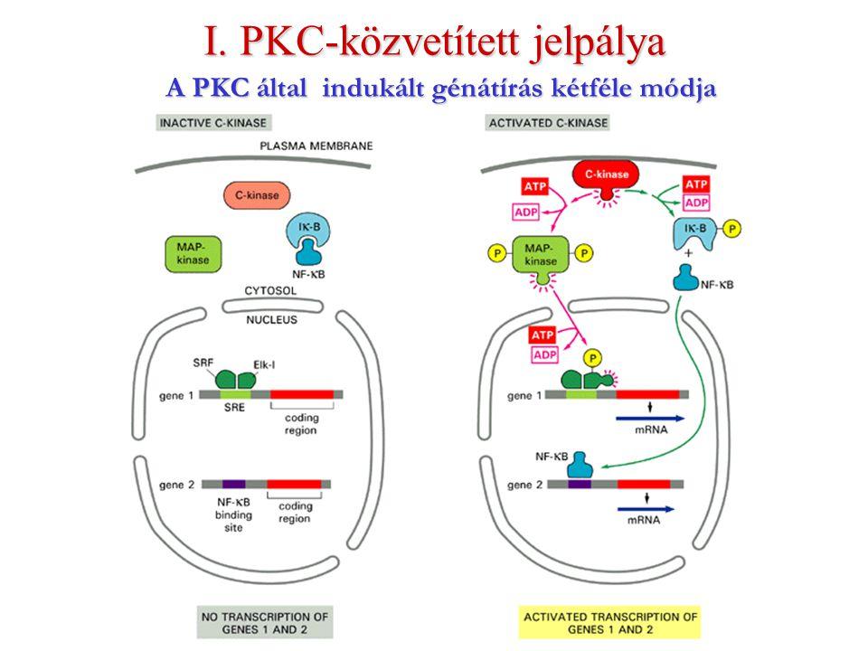 A PKC által indukált génátírás kétféle módja I. PKC-közvetített jelpálya