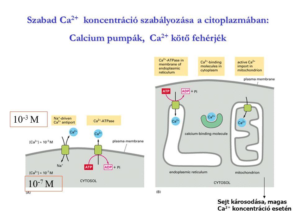 Szabad Ca 2+ koncentráció szabályozása a citoplazmában: Calcium pumpák, Ca 2+ kötő fehérjék 10 -3 M 10 -7 M Sejt károsodása, magas Ca 2+ koncentráció