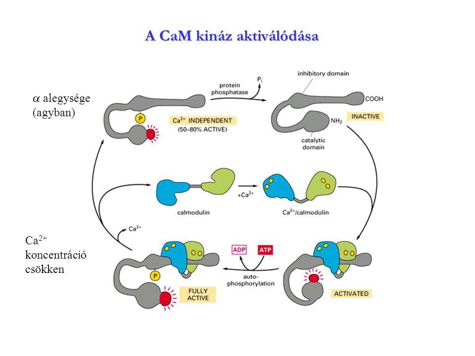 A CaM kináz aktiválódása  alegysége (agyban) Ca 2+ koncentráció csökken