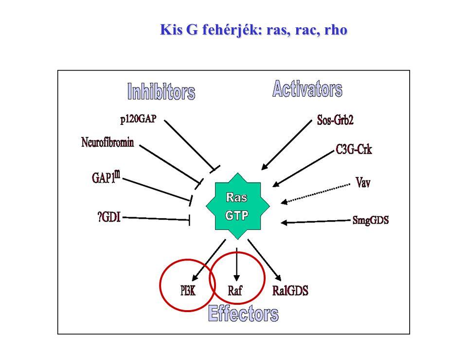 Kis G fehérjék: ras, rac, rho