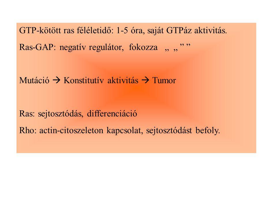 """GTP-kötött ras féléletidő: 1-5 óra, saját GTPáz aktivitás. Ras-GAP: negatív regulátor, fokozza """" """" """" """" Mutáció  Konstitutív aktivitás  Tumor Ras: se"""