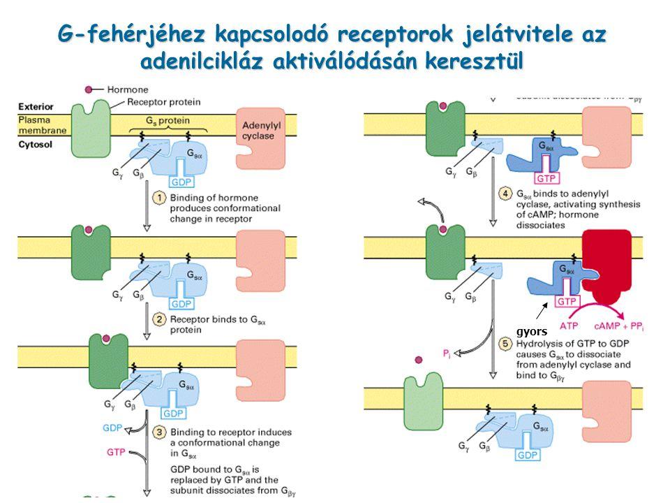 G-fehérjéhez kapcsolodó receptorok jelátvitele az adenilcikláz aktiválódásán keresztül gyors