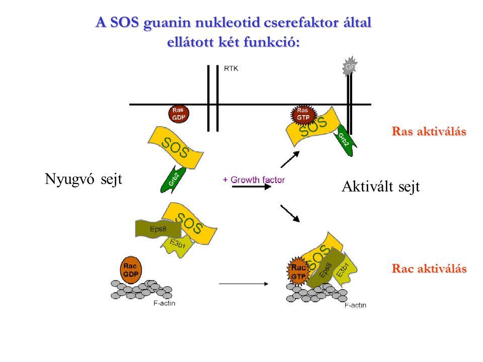 A SOS guanin nukleotid cserefaktor által ellátott két funkció: Ras aktiválás Rac aktiválás Nyugvó sejt Aktivált sejt