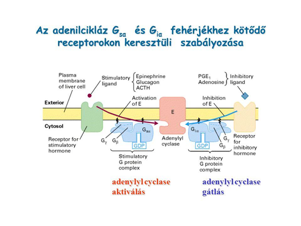 Az adenilcikláz G sα és G iα fehérjékhez kötődő receptorokon keresztüli szabályozása adenylyl cyclase adenylyl cyclase aktiválás gátlás