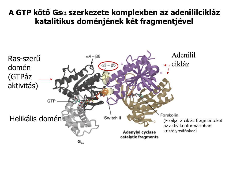 A GTP kötő Gs  szerkezete komplexben az adenililcikláz katalitikus doménjének két fragmentjével Ras-szerű domén (GTPáz aktivitás) Helikális domén (Fi
