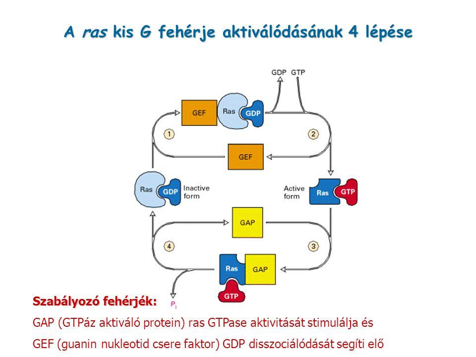 A ras kis G fehérje aktiválódásának 4 lépése Szabályozó fehérjék: GAP (GTPáz aktiváló protein) ras GTPase aktivitását stimulálja és GEF (guanin nukleo