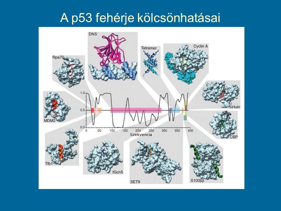 A p53 fehérje kölcsönhatásai