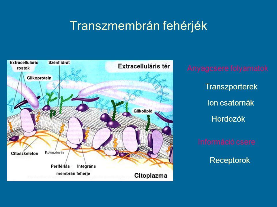 Transzmembrán fehérjék Anyagcsere folyamatok Transzporterek Ion csatornák Hordozók Információ csere Receptorok