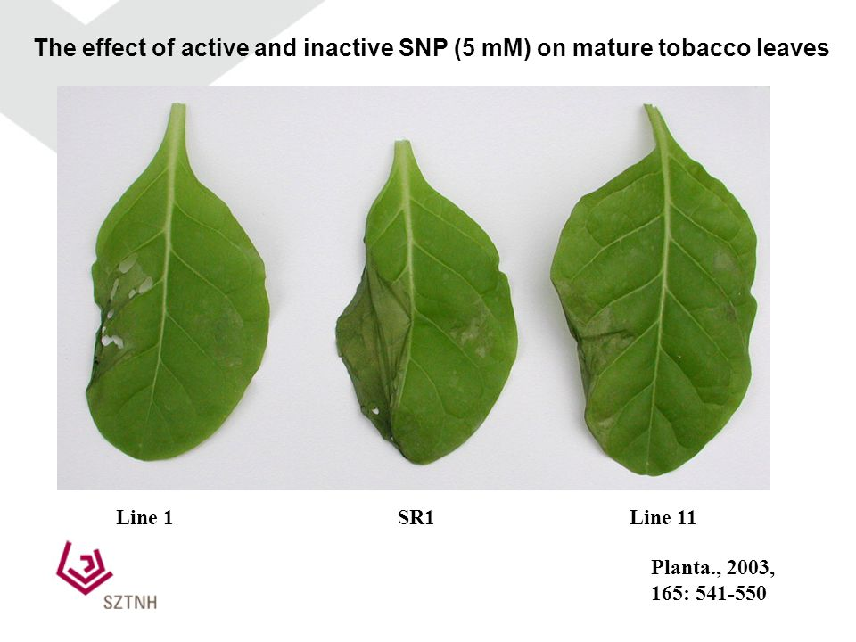 Line 1Line 11SR1 The effect of active and inactive SNP (5 mM) on mature tobacco leaves Planta., 2003, 165: 541-550