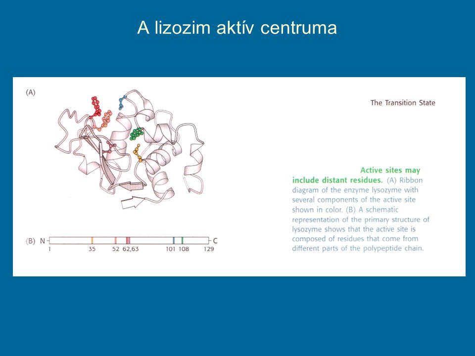 A lizozim aktív centruma