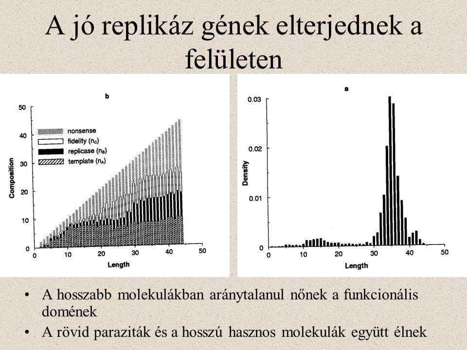 A jó replikáz gének elterjednek a felületen A hosszabb molekulákban aránytalanul nőnek a funkcionális domének A rövid paraziták és a hosszú hasznos mo