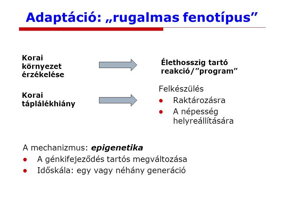 """Adaptáció: """"rugalmas fenotípus A mechanizmus: epigenetika A génkifejeződés tartós megváltozása Időskála: egy vagy néhány generáció Korai környezet érzékelése Élethosszig tartó reakció/ program Korai táplálékhiány Felkészülés Raktározásra A népesség helyreállítására"""
