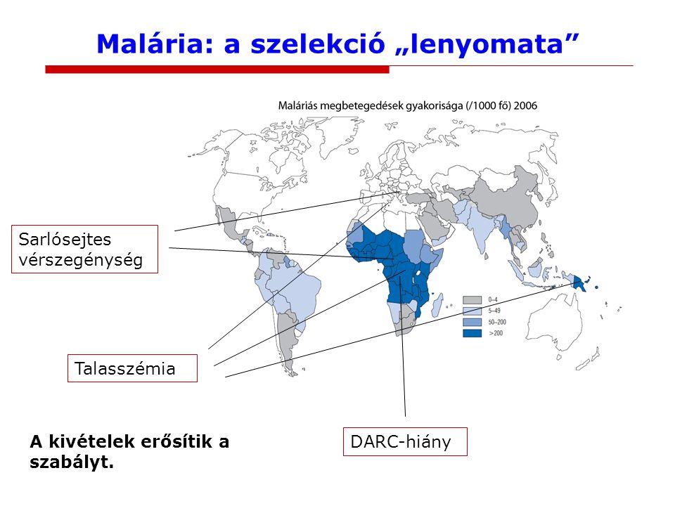 """Malária: a szelekció """"lenyomata"""" Sarlósejtes vérszegénység Talasszémia DARC-hiány A kivételek erősítik a szabályt."""