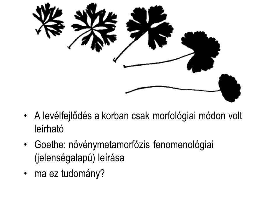 A levélfejlődés a korban csak morfológiai módon volt leírható Goethe: növénymetamorfózis fenomenológiai (jelenségalapú) leírása ma ez tudomány?