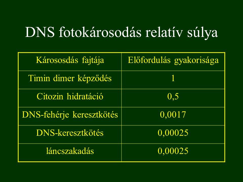 DNS fotokárosodás relatív súlya Kárososdás fajtájaElőfordulás gyakorisága Timin dimer képződés1 Citozin hidratáció0,5 DNS-fehérje keresztkötés0,0017 D