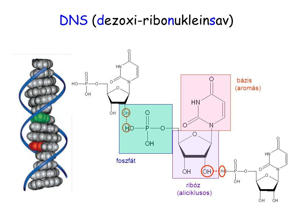 egy monomer egység: DNS kezdete DNS (dezoxi-ribonukleinsav) foszfát ribóz (aliciklusos) bázis (aromás)