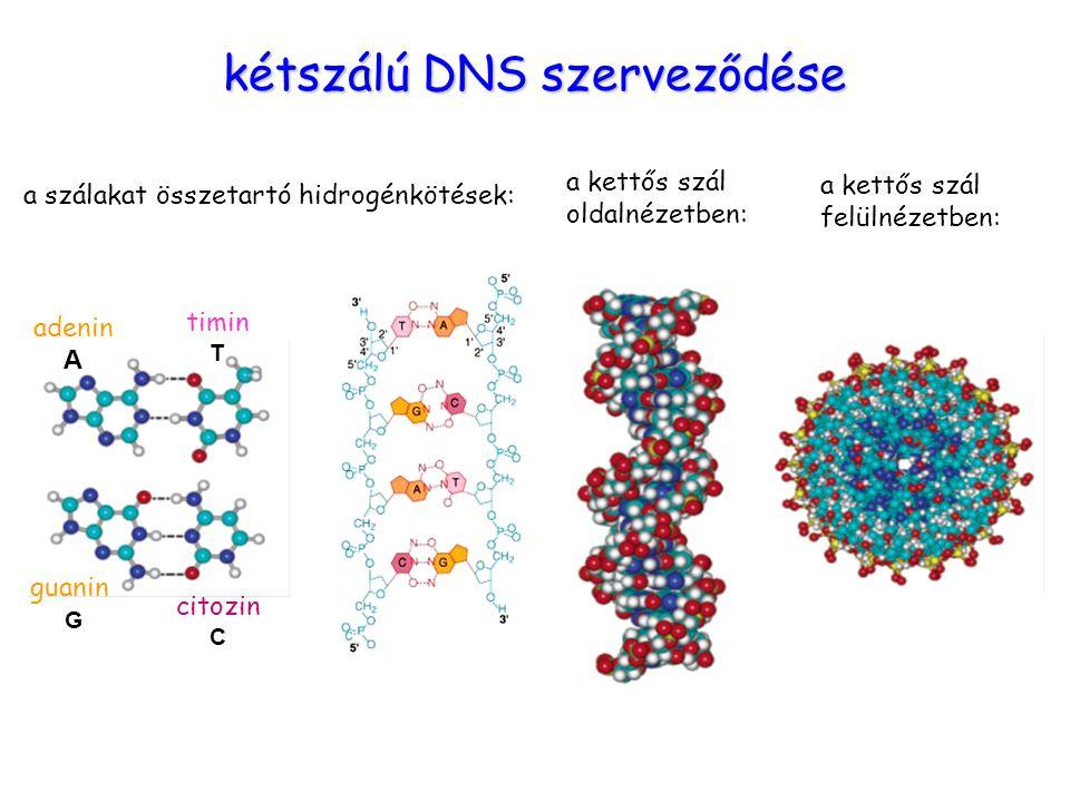 Bázisok kapcsolódása adenin A timin T guanin G citozin C kétszálú DNS szerveződése a szálakat összetartó hidrogénkötések: a kettős szál oldalnézetben: a kettős szál felülnézetben: