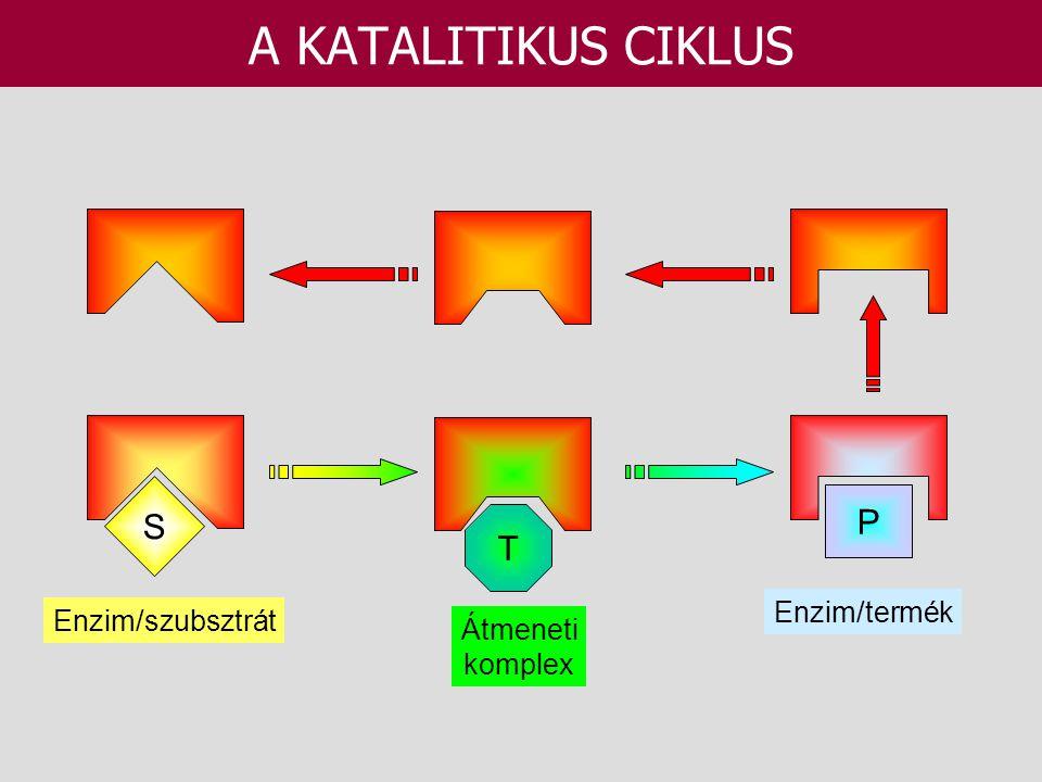 A KATALITIKUS CIKLUS S T P Enzim/szubsztrát Átmeneti komplex Enzim/termék
