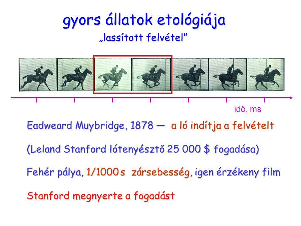 """ügető ló gyors állatok etológiája """"lassított felvétel"""" Eadweard Muybridge, 1878 — a ló indítja a felvételt (Leland Stanford lótenyésztő 25 000 $ fogad"""