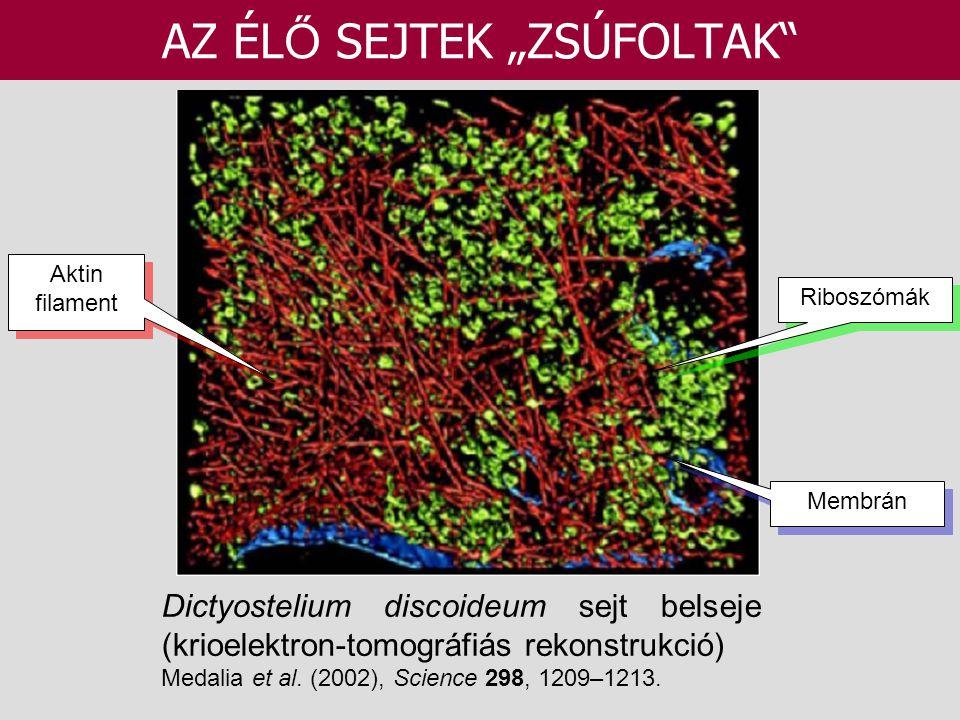 """Dictyostelium discoideum sejt belseje (krioelektron-tomográfiás rekonstrukció) Medalia et al. (2002), Science 298, 1209–1213. AZ ÉL Ő SEJTEK """"ZSÚFOLTA"""