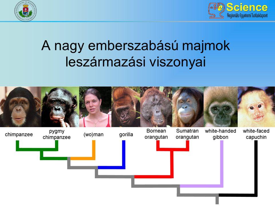 A nagy emberszabású majmok leszármazási viszonyai
