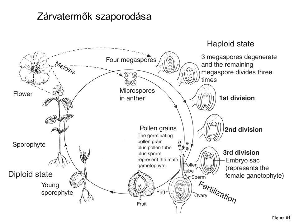 Figure 01 Zárvatermők szaporodása