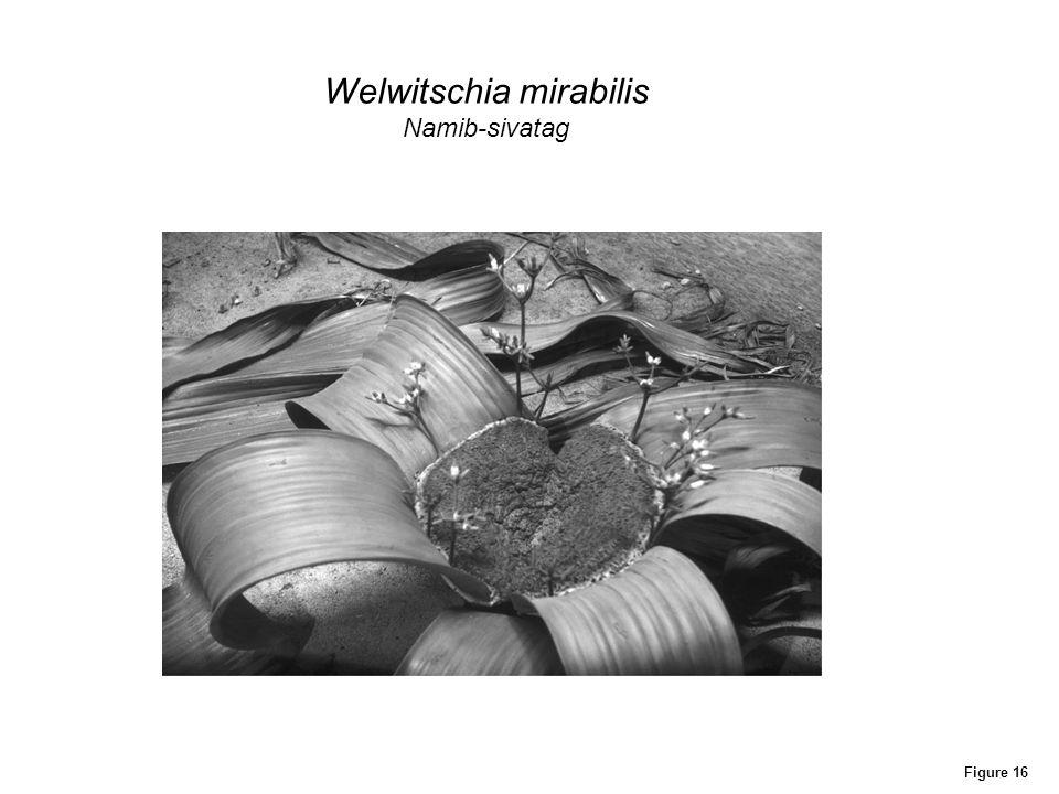 Figure 16 Welwitschia mirabilis Namib-sivatag