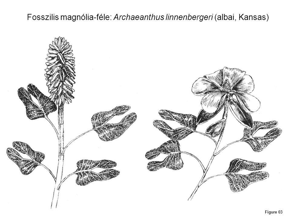 Figure 03 Fosszilis magnólia-féle: Archaeanthus linnenbergeri (albai, Kansas)