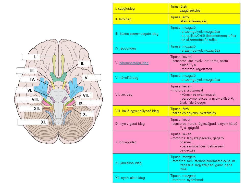 I. szaglóideg Tipus: érző szagérzékelés II. látóideg Tipusa: érző látási érzékenység III. közös szemmozgató ideg Tipusa: mozgató - a szemgolyók mozgat