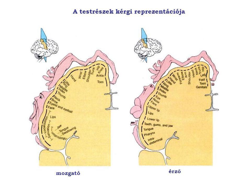 A testrészek kérgi reprezentációja mozgató érző