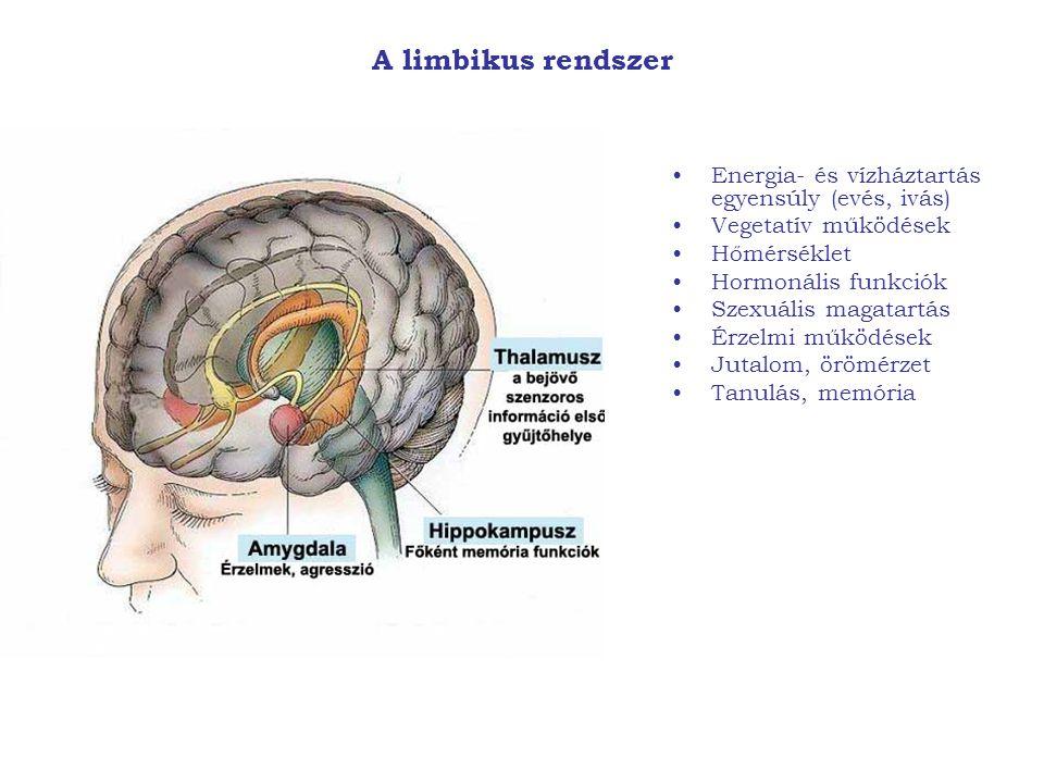 A limbikus rendszer Energia- és vízháztartás egyensúly (evés, ivás) Vegetatív működések Hőmérséklet Hormonális funkciók Szexuális magatartás Érzelmi m
