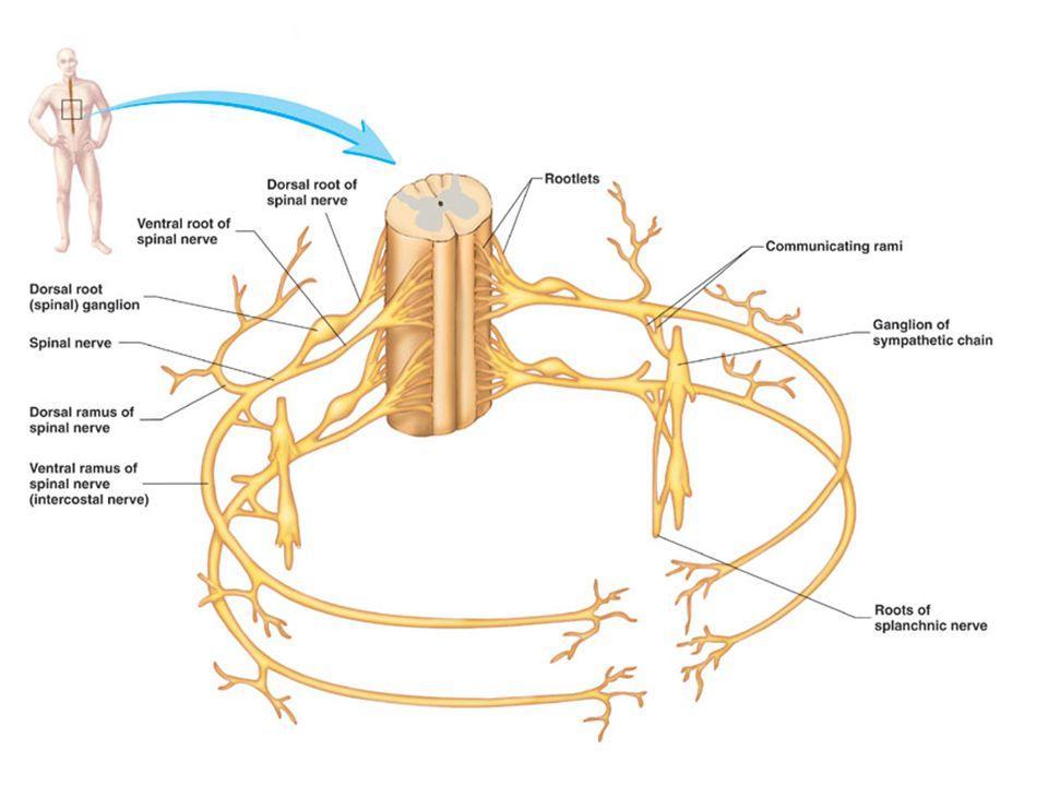 Nyúltvelő Híd Középagy Életfontosságú vegetatív központok (légzés, keringés) Retikuláris (=hálózatos) rendszer (éberség, tudati szint)