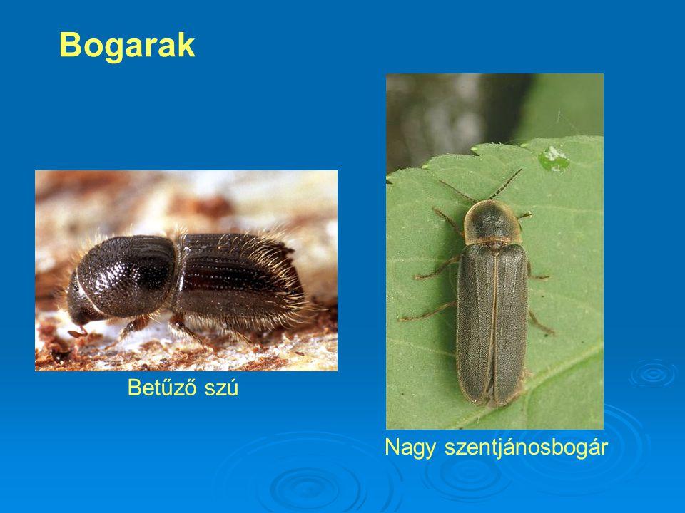 Bogarak Betűző szú Nagy szentjánosbogár