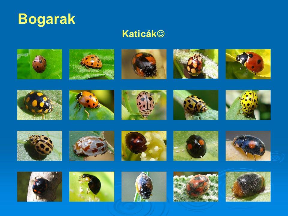 Katicák Bogarak